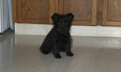 Male Schnoodle Puppy (Miniature Schnauzer X Toy Poodle)  I am a only child. I didn't have any brothers or sisters so I'm spoiled, but very sweet and loving. Come with 1st & 2nd set of shots and dewormed twice. Going the bathroom outside. Will grow to less