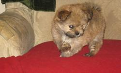 Ready to go Saturday,  mother is a Shih-Zsu and father is a Chihuahua. $250.00 as is or $350.00 with First Shots, Dewormed and Vet Checked.  Gets well with children and other dogs.