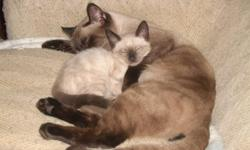 Male Siamese cat 1 1/2 years old. Great attitude, beautiful and a great breeder. Used to other animals. Friendly.