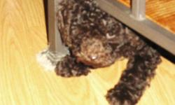 I am looking for a adult male toy poodle, for a playmate for my little one. Please get in touch if you have a boy that needs a friend! Thanks.