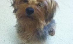 Beautiful purebred yorkie 14 months old he is not fixed he is docked and has all his shots he is trained and is a very happy and friendly dog can't keep him cause getting full time job and won't have time for him and he needs someone who can spend lots of