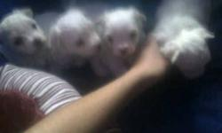 4 PUPPIES  FOR SALE WHITE NON SHEDDING HYPO - ALLERGENIC   READY TO GO   NIAGARA FALLS   289 686 8592   CALL AFTER NOON