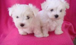 Extremely cute maltese pups for sale.  ONLY ONE MALE LEFT, he had his 1st shot also was dewormed and vet checked.  Adult size between 5 to 6 lbs. INCLUDED: health guarantee, viral guarantee and puppy starter kit. Puppies are non shedding, hypoallergenic,