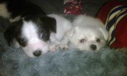 2 boys 1 girl. Extremely cute and friendly puppies. Already love being on your lap. Raised with kids and bigger dogs. the girl is black with white and the boys are white and white with black spots. I do have both parents to see. We are in Keremeos.