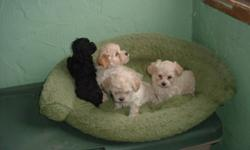 Maltese/ Poodle  2 males , plus 2 females $300 each first needle the mother is a Maltese Poodle mix weighs about 7 lbs father is a tiny toy poodle weigh about 5 lbs this puppies do not shed hair boys are on blue blanket, girls are on the pink blanket