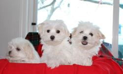 Lovable,Friendly,Maltese Puppies, 16 Weeks old, Fully house trained. Please call Vi anytime for more information, or appointment to see.   807-937-5203