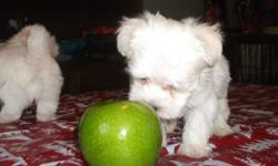 Beautiful maltese puppies for sale. Two males that have been raise in a loving family that includes children. These boys have wonderful happy and playful temperments and they are looking for homes where they will become loved and cherished members of a