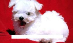 Maltese Puppy - CKC regisitered Female Maltese. Ready to go. Small white bundle of fur.  Hypo allergenic, 1st needle, micro-chipped, dewormed, vet checked.  Two year health guarantee. Non breeding agreement.  Should mature around 5-7lbs. Call 368-4813 for