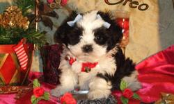 I have two adorable little girls and one handsome boy available to loving homes, that are just in time for Christmas! Colors range from Black with White, to creamy Chocolate with White. These precious angels are hypo-allergenic and non-shedding. They