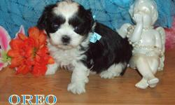 """OREO"" is available to a loving home. Oreo is very sweet and loves to cuddle. He is hypo-allergenic and non-shedding. He should reach a mature weight of approximately 5-7 pounds. The mother and father have excellent temperments, and these pups will make"