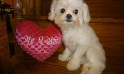 I have 3 maltese X for sale, non shedding, hypoallergenic, super cute, very friendly and good with other pets, children. pictures, 1, 2, 3 and 4, fully vaccinated, including the rabies shots for two years, dewormed and vet checked with all the papers to