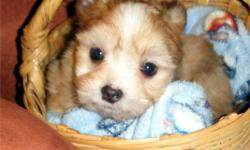 Maltese x Chihuahua pups available. ONLY 1 MALE LEFT!!   $325   He has had his Vet health check.  Has First shots, wormed and had initial dosage of Revolution applied. He will go home with Vet signed vaccination paper and a sample of dog food.   Male