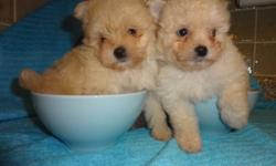 I have 2 maltese X for sale, non shedding, hypoallergenic, super cute, very friendly and good with other pets, children. They got 1st shots, dewormed and also checked by a vet. THESE TWO WERE BORN ON: 10/29/2011, 8 WEEKS OLD, READY TO GO NOW. REALLY TINY
