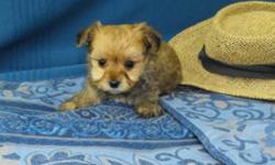 I am looking for homes for my puppies. Their mom is a maltese and their dad is a Yorkshire Terrier. 3 boys available and 3 girls. Some have the brown haircoat and the others look more like their dad a handsome little Yorky!   Go home with shots &