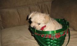 Are You Looking for A New Member For your Family?                     Then Look No Futher I am introducing for the first time 4 gorgeous cream colored malti-poo puppies that are now ready for their new and forever home 3 Precious tiny female powder puff
