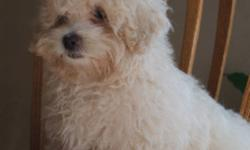 """Look at that face!!!!!!  Our little Malti-poo Nelson seems to be waiting for just the right home.  At 15 weeks of age he is calling you with those eyes!!  """"It's time for my new family""""   He is a 50/50 mix of the Maltese and the Poodle.  Nelson loves"""