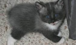 Black and white (tuxedo) Manx kittens available.  Cute, playful and raised with lots of TLC.  Five kittens in the litter, 2 rumpies and one manx, two with tails.  Very healthy and ready to go to your home.  The longer the tail the better the price!  Mom