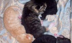 Momma had 6 beautiful little babies on the evening of Oct 25th 2011. One orange kitten with full tail, one black with white marking kitty with no tail, one black with white marking kitten with tail, and three tabby kitties, one with tail one without tail