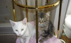 I have two manx kittens for sale they come with first shots and are dewormed.  They are litter trained and very friendly.. call 741-2726..