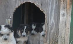 Maremma X Blue Heeler puppies.  Excellant pets. Shamrock, Sask.