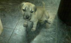 i have one puppy left a female she has been hand held by children since birth and is very cute and playful my brother kept one of these puppies from a previous litter and his puppy is now 3 and weights about 200 pounds and is so big but yet so loving for