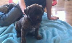 8 Beautiful mastiff boxer puppies for sale! 3 females, 5 males. Brindle, fawn, white/brown. Vet checked, first shots. Amazing with kids and other dogs. Ready to go Jan. 16.  pic 1- male pic 2- male pic 3- male pic 4- all female pic 5- male