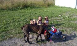 I have a beautiful female mastiff, shes 1 year and 4 months, shes fixed utd on all her shots, shes micro chipped, registered with city of mississauga, her color is black brindle, shes well with any pet and awsome with kids of all ages, never been