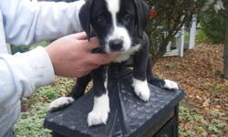 1 female Mastiff St Bernard puppy left. $175.00, Can go to a home next sunday(Oct 23) call 519-351-9394