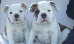 Only 1 girl left and she is now ready to go! Maximum Bullies. If your looking for a great looking Bulldog, but don't want to deal with all the health issues that can be associated with the purebred Bulldogs, then our Maximum Bullies could be just what