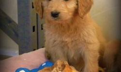 First Generation Gorgeous Standard GoldenDoodle Pups Available Now   Update: 6 Females Available. MEDIUM sized Doodles maturing between 50 - 55 lbs full grown.   F1's result in beautiful wavy, low to no shedding, allergy friendly coats.    Pups are Vet