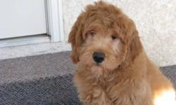We have a 13 week male goldendoodle ready for his new loving home!  He has his 1st and 2nd shots, been vet checked, wormed, microchipped and comes with a 2 year health guarantee.  He has been started on crate training and is sleepong through the night!
