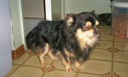 this little fella is a 1 yr old racoon faced long haired chihuahua  that is ready for his new ( loving home only). beside's being very cute, he's very small (6 lb's) and is very affectionate , loving and quiet but will definitly let you know if someone is
