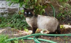 We would like you to meet..... Mickey Blue Eyes.  This charmer has purrrrr-sonality plus! Not only is he a handsome fellow but he is one of the most affectionate and loving cats we have ever seen.  :-) He is a one year old chocolate point Siamese X with