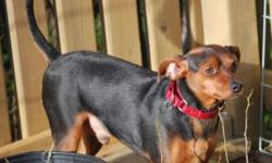 Colby is a 1.5year old Min Pin/Chihuahua mix. He is neutered and vaccinated. Colby needs a home that will commit to being consistent with his training and his diet. He needs to lose some weight, so more exercise and less treats for a bit. He is a real