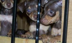 I have 4 female chocolate min pins ready to go asap. Email or text 803 1339