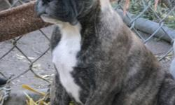 Reg. English bantam pups!!!Price IS negotiable These VERY TINY  & compact little chunky puppies are ready for their new forever homes!!Both are kid,cat & dog friendly!!..Home raised with tons of  love.Dam is a registered Bantam,Sire is a pure English