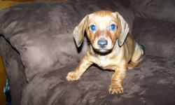 one male mini Dachshund puppy born Aug 25th he is a shothaired red with a little black on his back he has had his first shots and deworming done.He has been home raised with kids and other pets he is very friendly and loves to play.He is in the process of