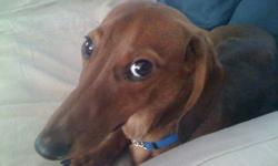 """Sweet and fun loving Miniature Dachshund male pup in need of a forever home. """"Archer"""" is house trained and knows all the basic commands. He gets along with cats,dogs and loves playing with kids. He is intact and up to date with shots. Asking for $300 but"""