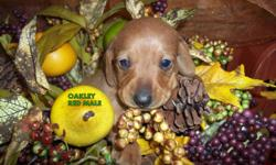 Dachshund puppies for sale.  Red smooth coats and  Red Wire haired available.  These puppies are raised in my home and come well socialized with kids.  These adorable outgoing puppies will come with a health gaurantee as well as 1st shots, and deworming.