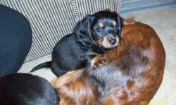 we have 2 female black and tan long hair puppies for sale they have been vet checked and have had their first shots and deworming these playful pups are partially house trained these are purebread dachshund puppies and parents are on-site as well as an