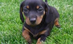 Expecting a litter of dapple's and black & tan's that will be ready for new homes mid April.  Puppies will have 1st shots, deworm and vet health check.  My miniature doxie's are raised underfoot in our home with plenty of love from our 4 children.  Taking