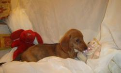 7 beautiful Mini Dachshunds. Great temperaments, very nice conformation, and happy little bunch of wiener dogs.   Good with children and all age groups, they make wonderful pets.   They are used to other dogs, cats and children. Outside potty trained!