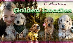 MINIATURE GOLDEN DOODLES!   6 years Raising healthy doodles with excellent references! These babes are reduced to go quicky..EXCELLENT price for these mini Goldendoodles!!Already trained to use the washroom outside only!!! No matter how cold it is..Golden
