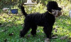 ONLY ONE LEFT!! I have 1 black female mini poodle. Father is red in color and registered, mom is not registered and silver in color(grey with black trim).  This Puppy is very loving and kind and would love a lap to lay in and someone to play with her.