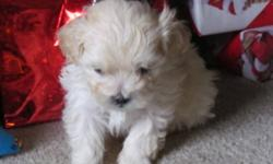 Cute, playful Mini Poodle/Shitzu, eating puppy food and working on puppy pad training. Will come with first vaccination and deworming' 1 tiny black female, 1 tiny black male, 1 cream male, 2 black male, 1brown, black, white paws, 50 00 deposit will hold