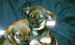I have 3 pups that need good homes. Thease dogs normally go for 800. to 700. But I want them to have good homes. So they are on sale. One black and tan female 600 one chocolate and tan female 450. one chocolate and tan male 450. This price is a steel so