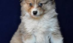 """This sweet natured little teddy bear is super friendly and outgoing. He should mature around 13"""" to 15"""" at the shoulder. He is vet checked, dewormed and has his first shots. He is ready to go to his new home. $450 + GST Visits welcome. Both parents on"""