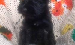 Mini Schnauzer. CKC registered . Champions in the bloodline. Black. 2 males and 2 females. Non-shedding. Vet checked. 1st shots and dewormed. Micro-chipped. Health guarantee. Tails docked and dew claws removed. 6 weeks pet insurance included.  Raised with