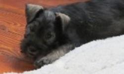 We are the minis,Will mature 10-12 lbs... full of life, health and happiness....a wonderful pet, family raised with kids.........hypo allogenic...nonshedding...vet checked....vaccinated...micro chipped...health guaranteed...604-839-9650