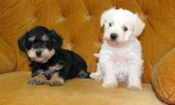 Two sisters looking for their new families! They are Mini Schnauzer (mom) and Toy Poodle (dad)! So they won't shed and are going to be a nice sized house dog. They are very good with children and have the right temperament to be a perfect family dog. Each